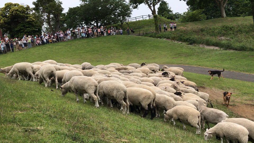 羊の大行進イベント